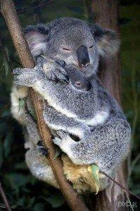 Le conte du petit bébé koala qui trouvait que sa maman n'était pas assez maman koala-baby-17575-199x300